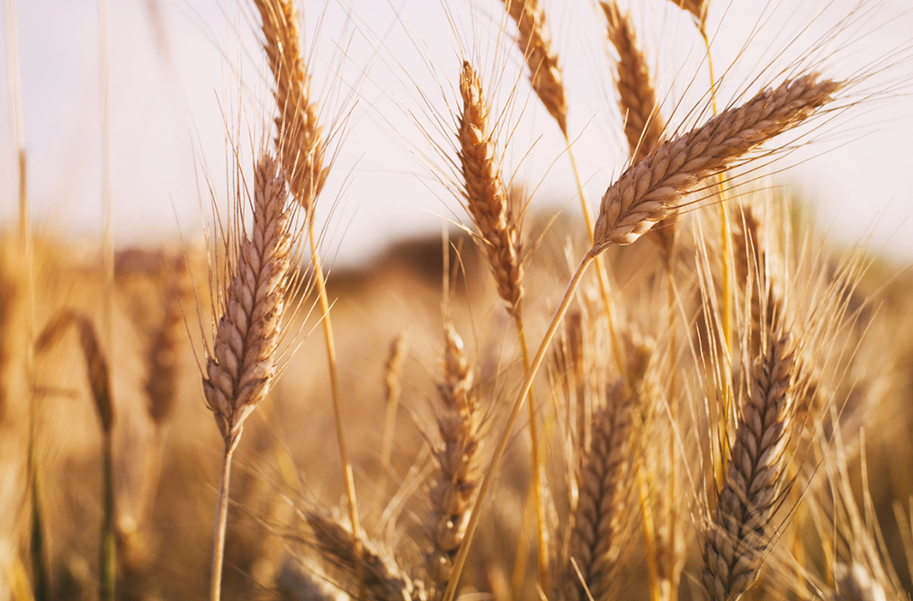 Protéines et gluten de blé biologiques 3
